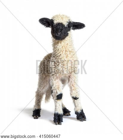 Standing Lamb Black nose sheep looking at the camera, three weeks old, isolated on white