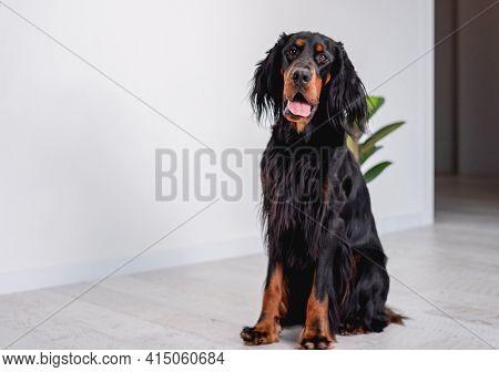 Gordon setter dog sitting on floor near white wall at home