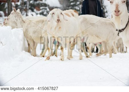 White Milking Goats With A Collar Graze In Winter In A Paddock In The Forest During The Day
