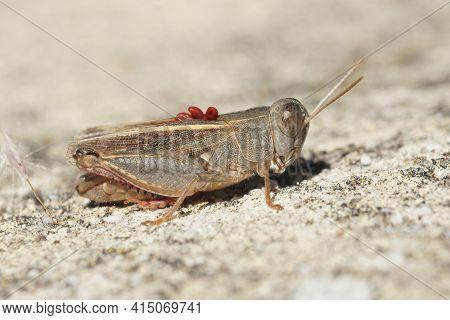 Closeup Of The Italian Locust, Calliptamus Italicus , With Red Parasites On The Back In The Gard, Fr
