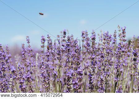 Blooming Lavender Field. A Juicy Purple, Lavender, Lilac Flower Growing In A Field Under The Sun. La