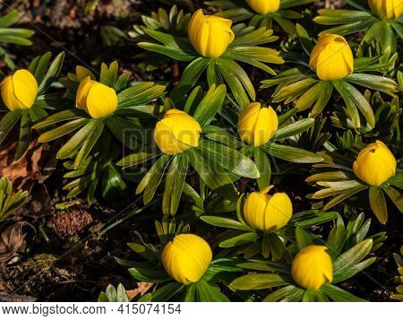 Bright Yellow Flower - Winter Aconite (eranthis Hyemalis) In Bloom In Sunlight. One Of The Earliest