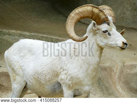 White Buck, Billy Goat, Billy Goat With Large Horns In Front Of A Rock Face. Copy Space