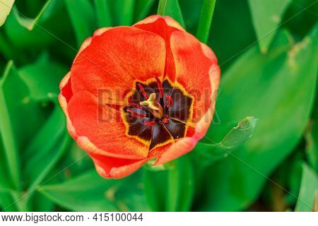 Bloom Of A Tulip In Detail. Flower With Red Yellow Petals In Spring With Opened Flower Head. Flower