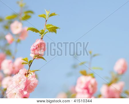 a branch with beautiful pink flowers against the blue sky. Amygdalus triloba. very shallow depth of field.