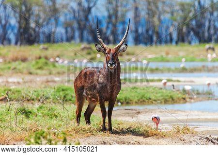 Waterbuck (kobus Ellipsiprymnus) At The Background Of A Bright Savanna