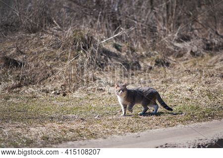 A Cute Gray Cat. Homeless, Stray Cat. Hungry Cat On The Street, In Nature. Animal Care, Veterinary T