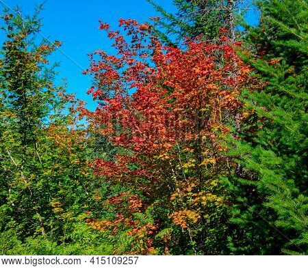 Red Leaves In Late August - A Maple Tree Scene In The Forest Along Fr405 - Cascade Range - Near Mari