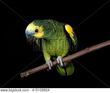 Turquoise-fronted Amazon In Front Of Black Background