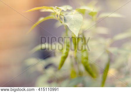 Defocused Chili Plant And Soft Background, Chili Leaf In Focus.
