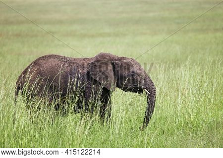 Young African Bush Elephant (loxodonta Africana) In A High Green Grass