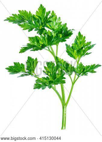 Parsley herb. Macro shot of small branch.