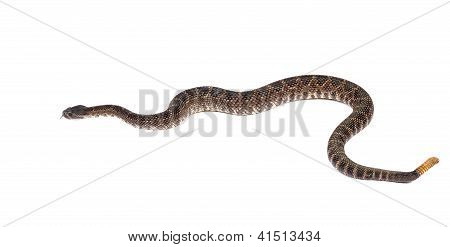 Southern Pacific Rattlesnake (crotalus Viridis Helleri) In Front Of A White Background. On White.