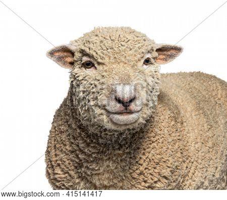 Head shot, portrait, Southdown sheep, Babydoll, smiling sheep, isolated