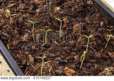 Young Seedlings Of Tomato Seedlings In A Plastic Seedling Box Filled With A Mixture Of Peat, Humus A