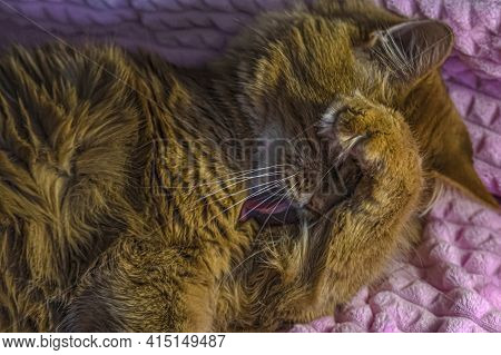 An Adult Fluffy Red Cat Washes Its Face With Its Tongue And Covers Its Face With Its Paw. Cute Cat C