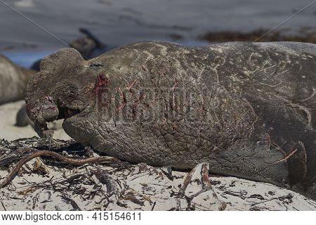 Battle Scarred Male Southern Elephant Seal (mirounga Leonina) Lying On A Sandy Beach On Sea Lion Isl
