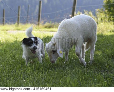 A Shepherd Dog With Sheep