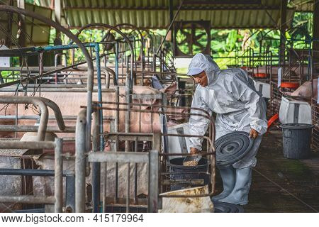 Asian Veterinarian Working And Feeding The Pig Food In Hog Farms, Animal And Pigs Farm Industry
