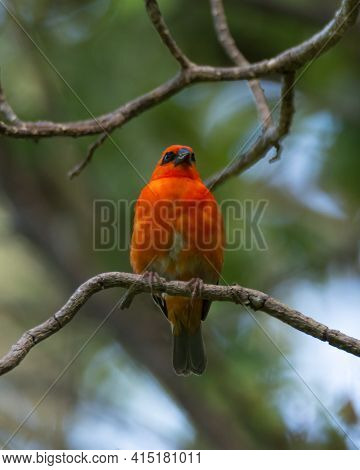 A Beautiful Bright Red Colored Mauritius Fody (foudia Rubra), Perched On A Tree Branch In The Wild,