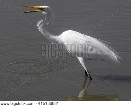 Great Heron Catching Crustacean. Palo Alto Baylands, Santa Clara County, California, Usa.