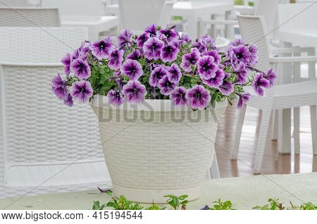Big White Wicker Pot With Blooming Petunias As Decoration An Open-air Cafe. Room Decoration With Fre