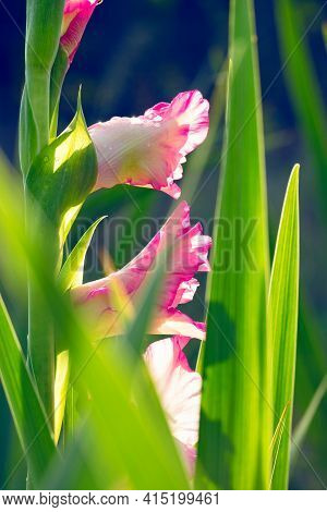 Delicate Light Pink Gladioli Bloom In The Rays Of Soft Sunlight And Drops Of Morning Dew Reflect Its