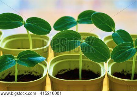 Young Green Plants Or Shoots Seedlings Of Agricultural Crops Closeup In Pots For Growing