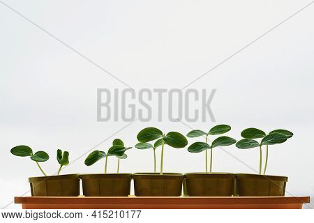 Plants Or Seedlings Of Crops With Green Leaves On Thin Stems In Pots And Closeup In A Row On A White