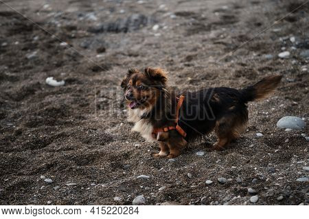 Portrait Of Charming Fluffy Brown And White Pet Pooch With Orange Harness On Beach Against Backgroun