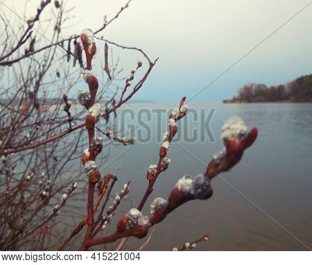 Willow Branches With Budding Buds With Dew Near The Pond