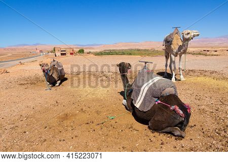 Dromedaries Resting Waiting For Tourists By The Road In Atlas Mountains, Morocco