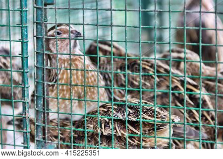 Japanese Quail In Cages In The Poultry Market Of South-east Asia