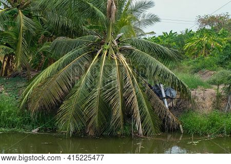 View Of The Coconut On Palm Tree Trunk Or Coconut Tree With Coconut Balls And Groove Canal In A Plan