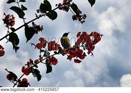 Purple-rumped Sunbird (nectarinia Zeylonica) Bird Drink Nectarfrom Ipomea (morning Glory) Vine With