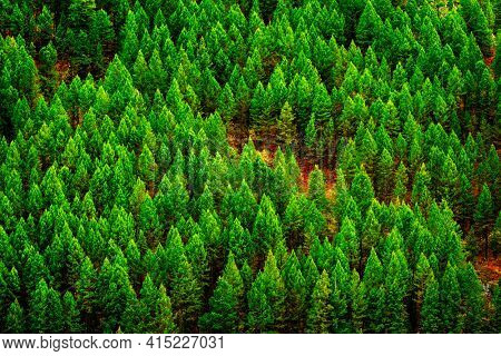 Green lush forest of pine trees in wilderness mountains