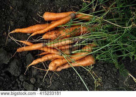 Freshly Harvested Carrots On Soil. Low Key.