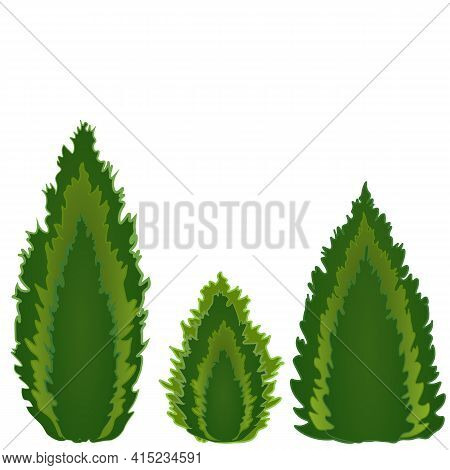 Conifers Of Different Shapes, Three Kinds Of Conifers - Tui, Cypress, Juniper. Piramidal, Candle And