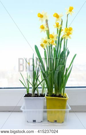 A Yellow Potted First Spring Flowers Narcissus And White Crocuses On A Window Sill, Live Bouquet Of
