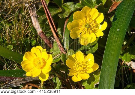 A Trio Of Wild California Buttercups Growing In A Field On A Plateau On The California Coast.