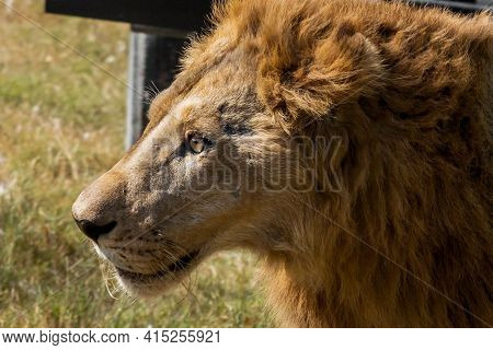 Close Up Head Of Male Lion Was Walking On The Field