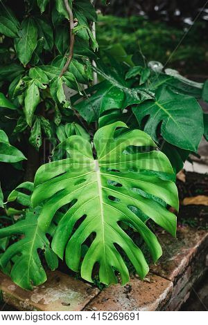 Green Monstera Leaf Plant, Swiss Cheese Plant Or Mexican Breadfruit. Ornamental Plant In A Garden