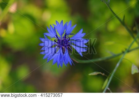 Beautiful Blue Blooming Cornflower In The Park