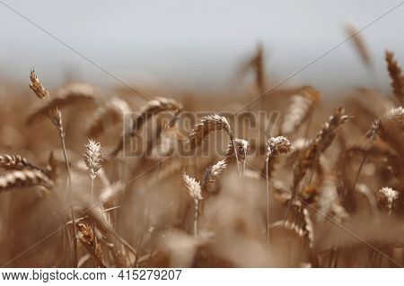 Ears Of Wheat Close Up. Wheat Field. Ears Of Golden Wheat Close Up. Beautiful Nature Sunset Landscap