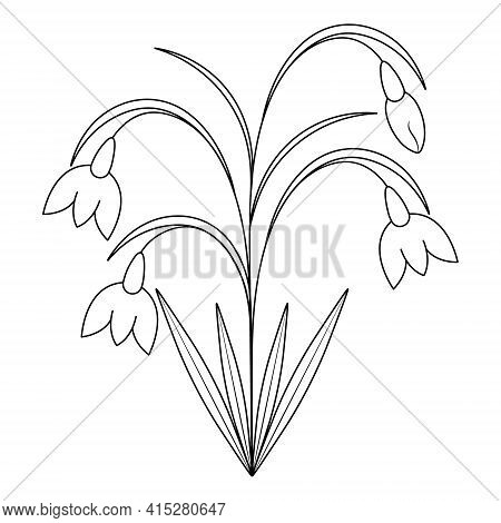 Snowdrops. Sketch. Spring Flowers. Vector Illustration. Coloring Book For Children. Delicate Plant.