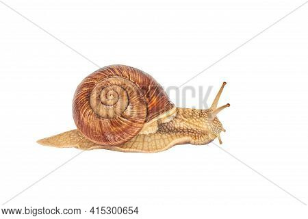 A Brown Garden Snail On A White Background. Helix Pomatia. Grape Snail On A White Background. Mollus