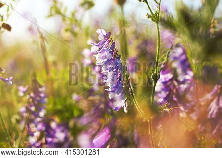 Vicia Cracca Flowers. Wild Sweet Pea Flowers In A Summer Field. Bouquet Of Herbs And Wild Flowers. P