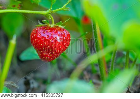 Ripe Strawberries With Holes Made By A Slug.