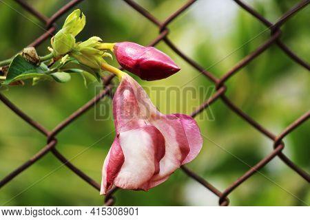 Closeup View Of Allamanda Cherries Jubilee Flower.