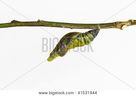 Mature Pupa Of Common Mormon Butterfly